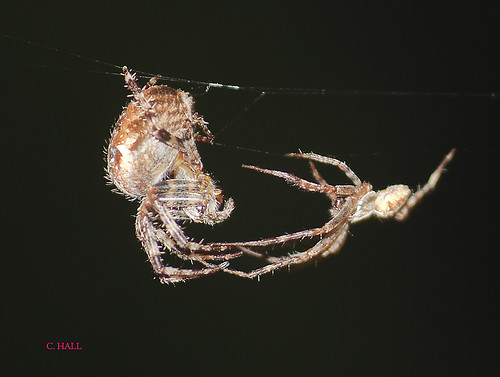 Female and Male Garden Spider Courtship | by aerial2