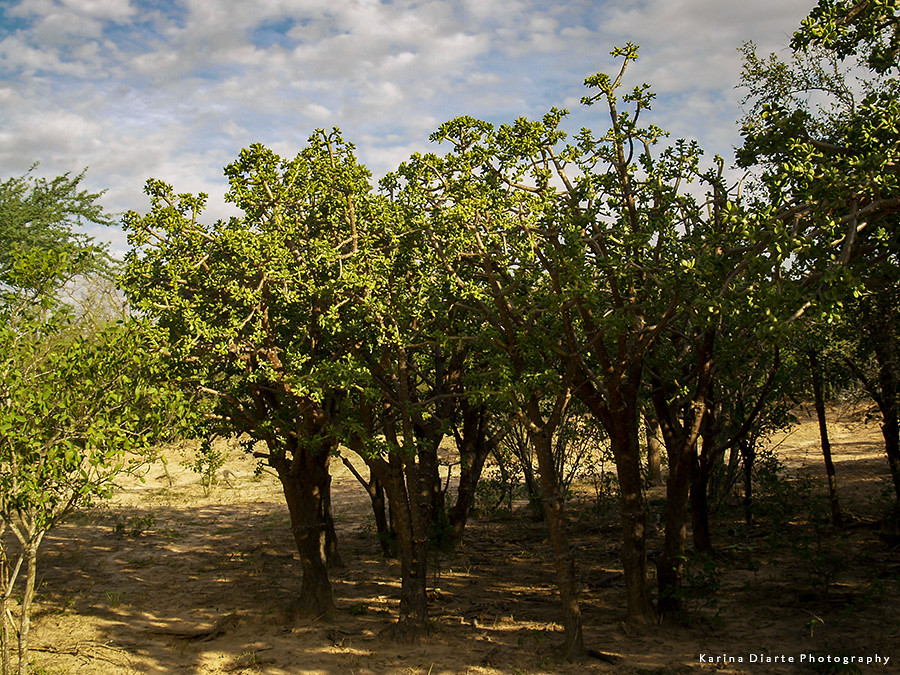 Sacharosa - Quiabentia pflanzii