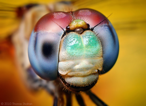 Blue-faced Meadowhawk - Sympetrum ambiguum (With Video!) | by Thomas Shahan