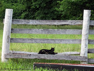 Mr. Midnight on the fence | by Farmgirl Susan