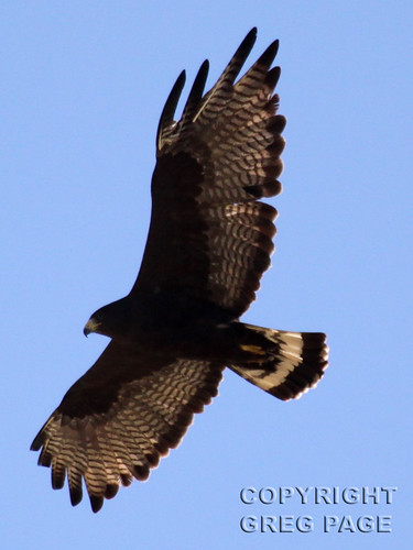 Zone-tailed Hawk | by gregpage1465