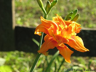 Daylily in the front yard | by Farmgirl Susan