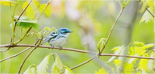 Cerulean Warbler | by U. S. Fish and Wildlife Service - Northeast Region