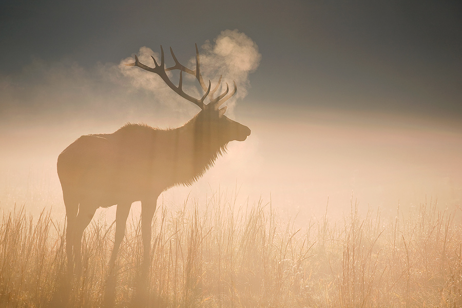 MAJESTIC ELK -- Great Smoky Mountains, NC