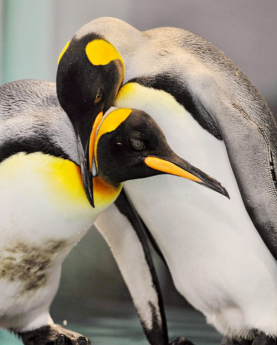 Two penguins | by Tambako the Jaguar