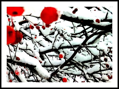 snow cherries  [explored] | by Emily Bemily