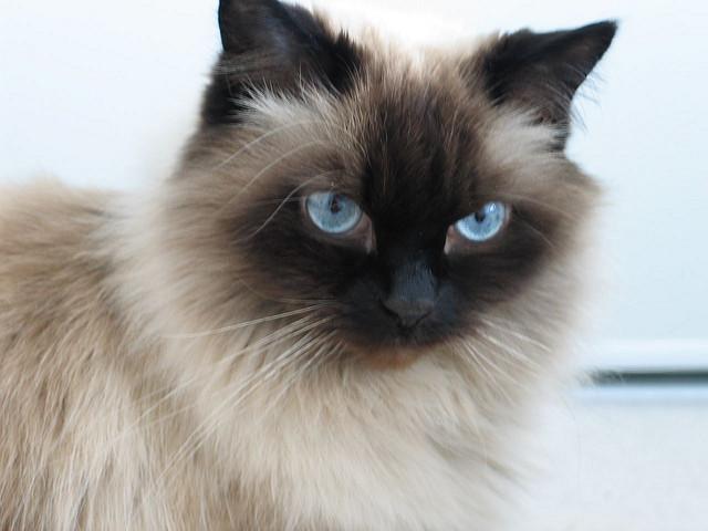 himalayan-cat1
