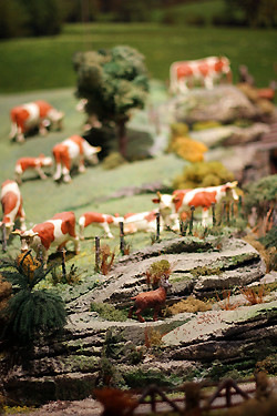 Comte cow diaorama | by David Lebovitz