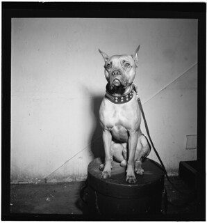 [Portrait of Mister (Billie Holiday's dog), New York, N.Y., between 1946 and 1948] (LOC) | by The Library of Congress