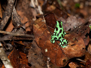 Green and Black Poison Dart Frog | by Peter Nijenhuis