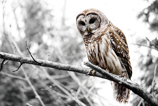 Barred Owl | by SeRVe Photography