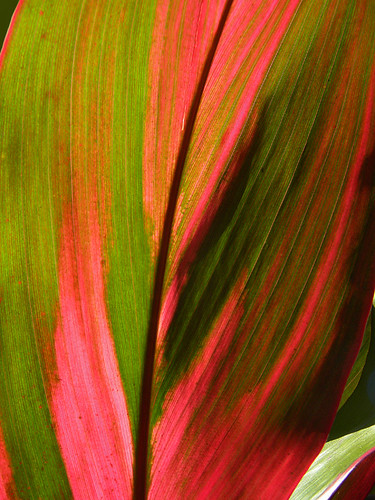 ti plant with pink streaky leaf