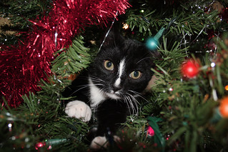 kitty in the christmas tree | by gregezzo