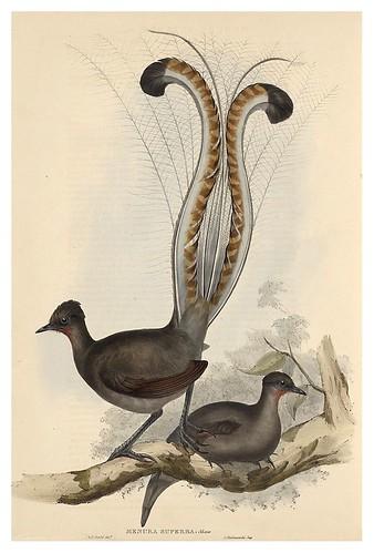 019-Pajaro Lira-The Birds of Australia  1848-John Gould- National Library of Australia Digital Collections