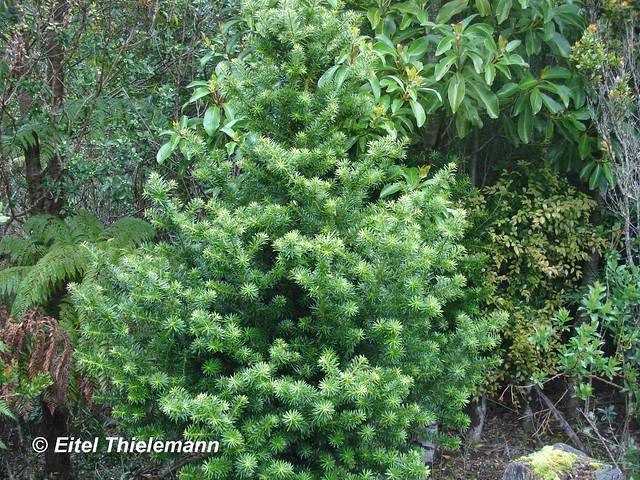 Podocarpus nubigena, hábito