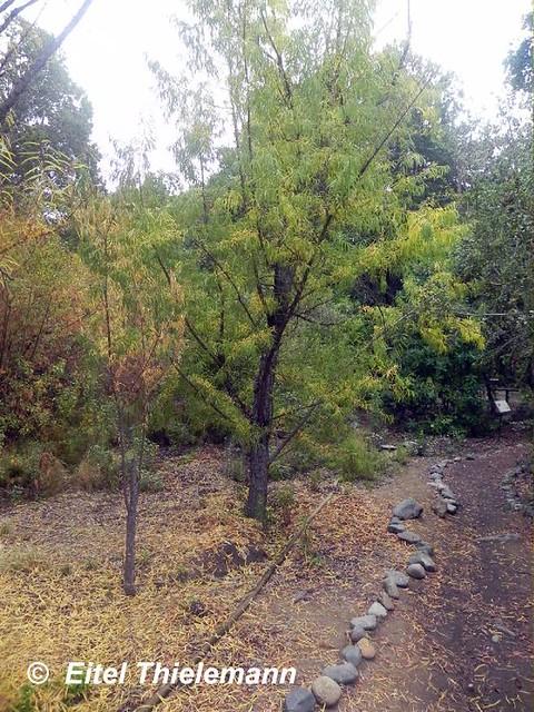 Salix Humboldtiana