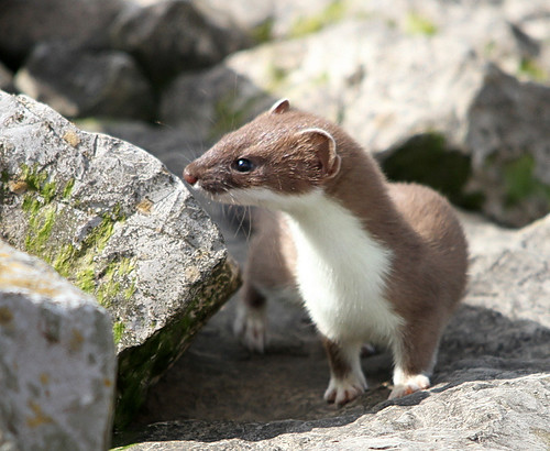 Conwy stoat | by aled williams 1