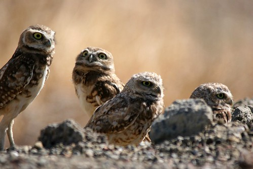 burrowing owls dave harper oakley | by Contra Costa Times