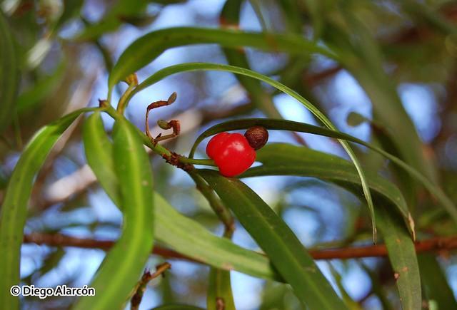 Arilo carnoso y semilla de Podocarpus salignus