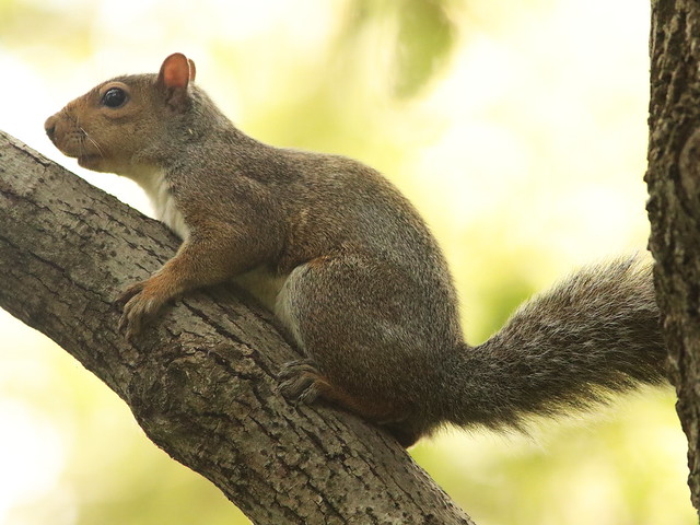 Gray Squirrel 20160929