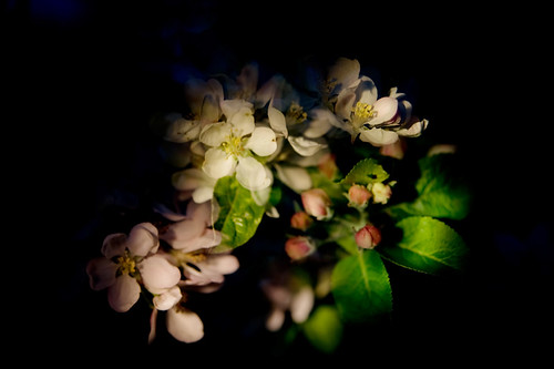3. Apple blossom | by louisahennessysuɹoɥƃuıʞıʌ