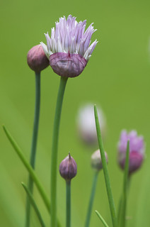 Allium | by Billtacular