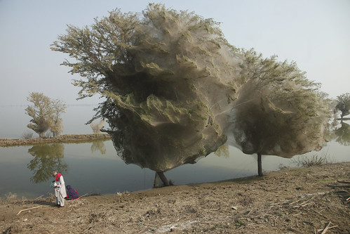 Trees cocooned in spiders webs, an unexpected side effect of the flooding in Sindh, Pakistan | by DFID - UK Department for International Development