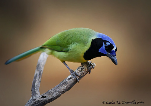Green Jay  IMG_3332edtvg | by cmescamilla