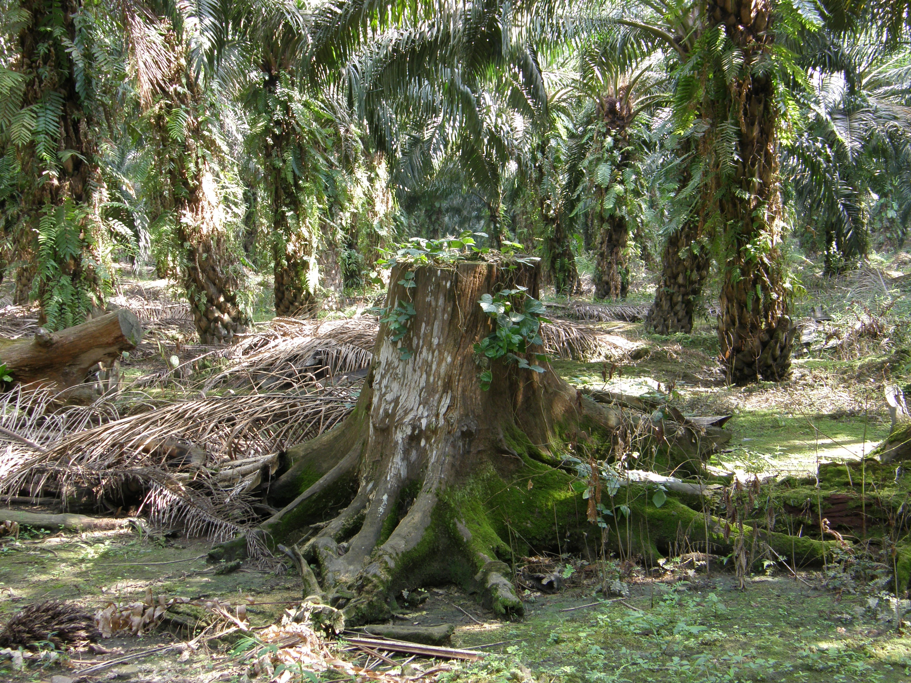 Oil palm: collateral damage, tree