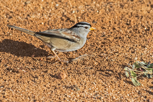 White-crowned-Sparrow-3-7D2-100316