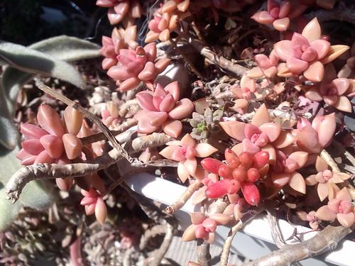 Graptopetalum paraguayensis f.bronz?(2/2)