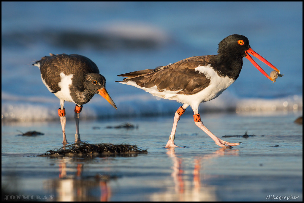 Oystercatchers 1 of 3