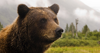 Grizzly Bear in Alaska | by Princess-Lodges