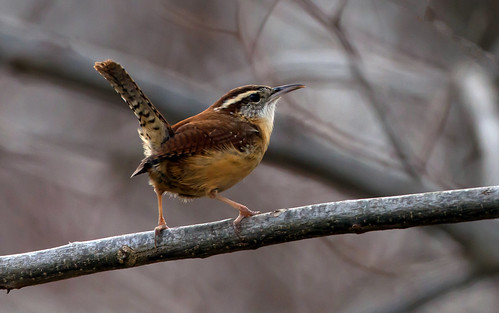 Carolina Wren | by Manjith Kainickara *manjithkaini.net*