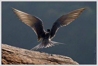 River Tern | by Canon_Vision