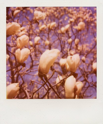Blossoms, Brooklyn Botanic Garden (Polaroid) | by ravikjolly
