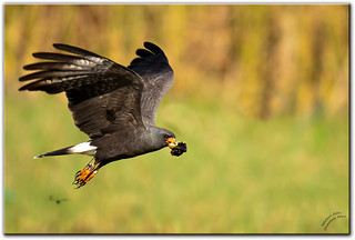 Male Snail Kite - Kissimmee, FL [Explored] | by mlibbe