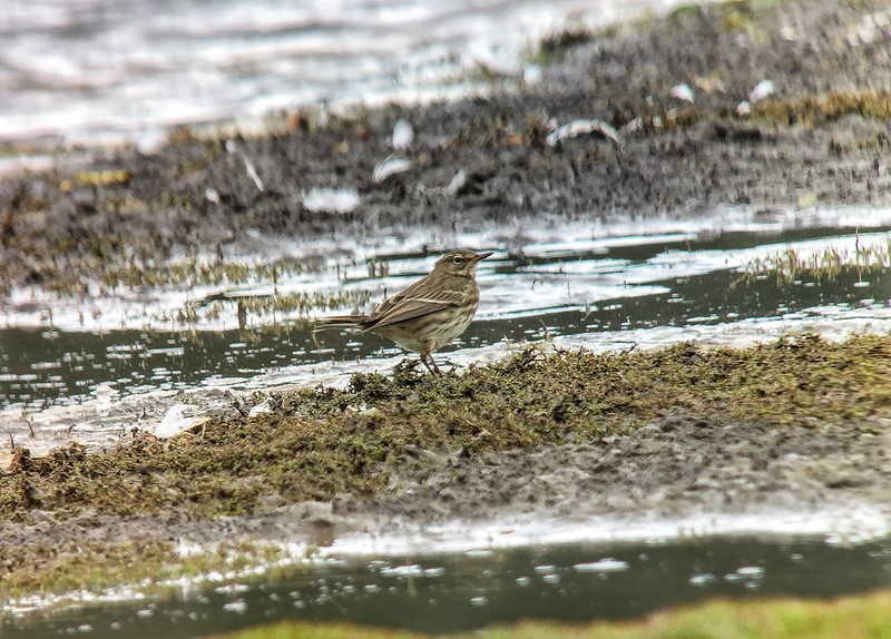 Rock Pipit, Broom GP