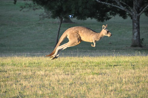 Kangaroo in Flight
