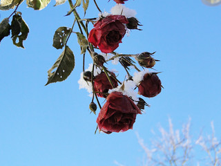 winter and roses | by Choco Bebs
