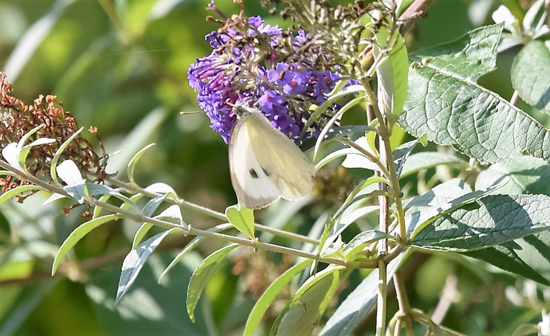 Cabbage White Butterfly 26.09 (3)
