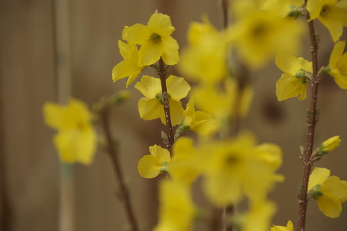 Forsythia | by academichic