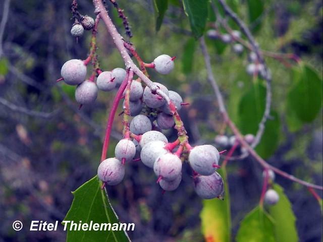 Azara petiolaris, frutos
