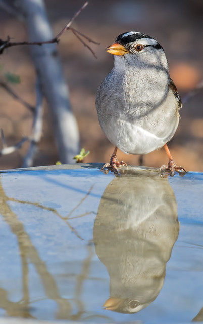 White-crowned-Sparrow-C-5-7d2-100516