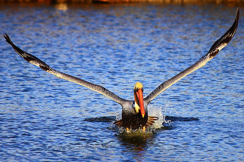 IMG_3009 California Brown Pelican Taking Off