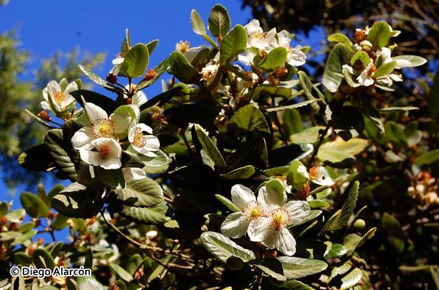 Flores de Ulmo, Eucryphia cordifolia