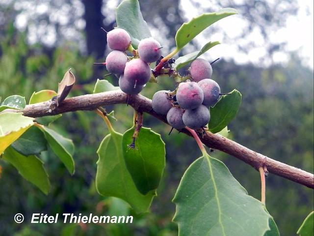Frutos de Azara petiolaris