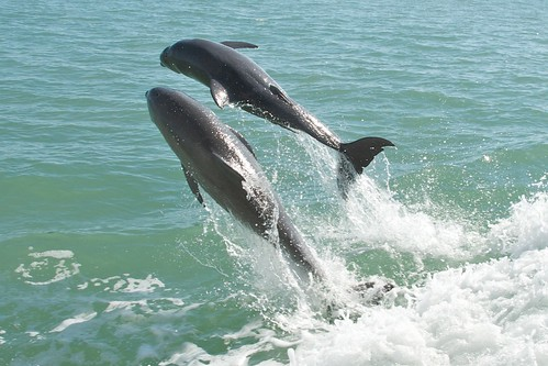 Dolphins in Pine Island Sound | by pmarkham