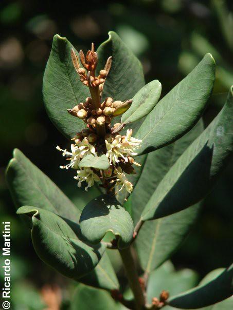 Pouteria splendens, flores y hojas