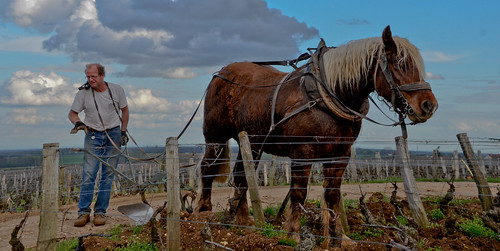 Horse Tilling Grand Cru Vineyards - Burgundy 2011 | by The Hungry Cyclist